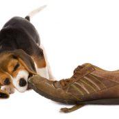 BeagleChewTrainer